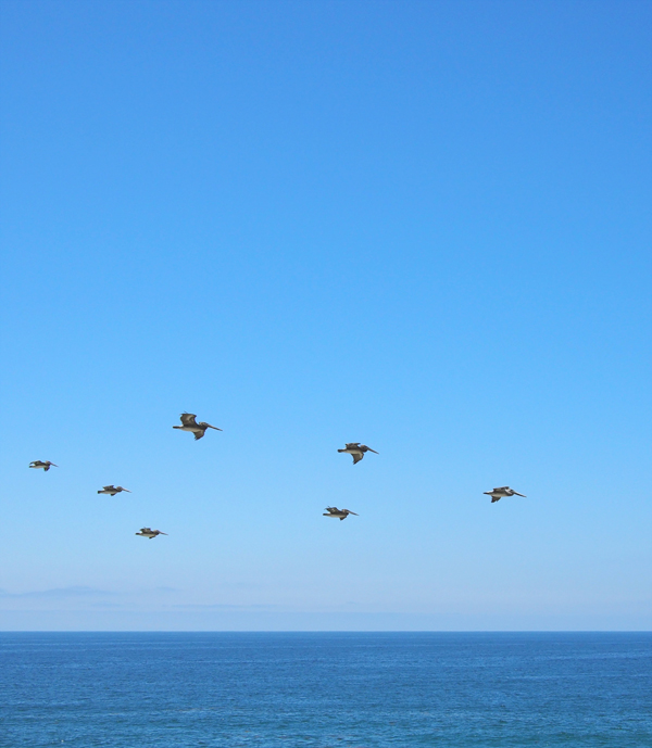 Pelicans at Laguna Beach, California